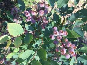 blueberry2019